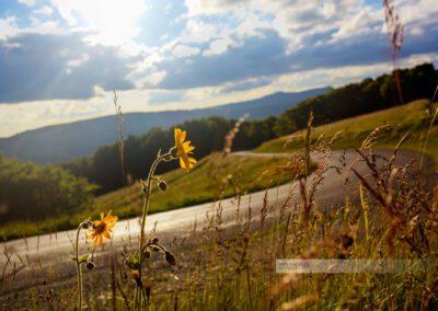 Blume blüht am Straßenrand der Route des Crêtes in den Vogesen