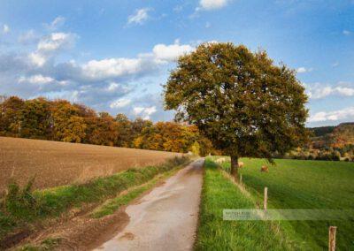 Herbstaufnahme eines Feldwegs bei Herschweiler-Pettersheim. Ein großer Baum, Kühe auf der Weide