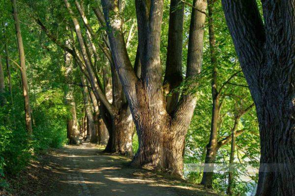 Alte Bäume an der Donau auf der Donauinsel Oberer Wöhrd
